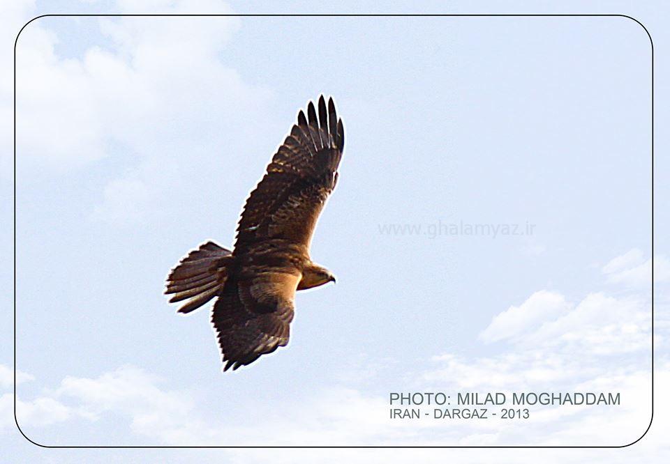 عقاب پارک ملی تندوره شهرستان درگز